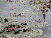 Wat Mahathat Lotus